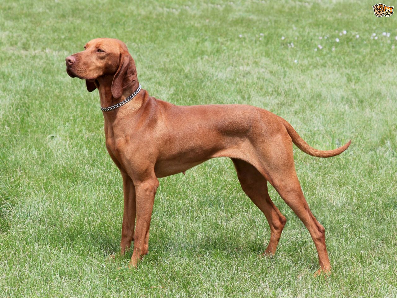 Hungarian vyzhla: breed features, characteristics 34