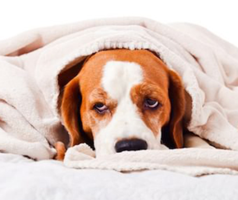 Can I Give My Dog Paracetamol >> Can I Give My Dog Calpol? - My Best Friend Dog Care